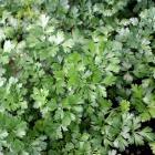 Petroselinum crispum (gr. Neapolitanum) 'Laura'