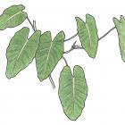 Philodendron sagittifolium Liebm.