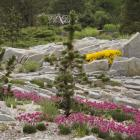 Pinus aristata, un arbre des hautes altitudes des Montagnes Rocheuses, entourré d'Armeria maritima 'Düsseldorfer Stolz'.