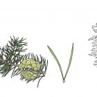 Pinus banksiana (Pinus divaricata)