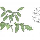 Platymiscium pinnatum (Jacq.) Dugand