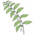 Polygonatum pubescens