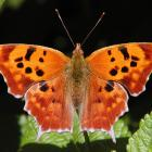 Polygonia interrogationis