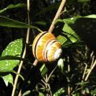 Polymita muscarum