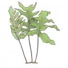 Polypodium aureum L. (Phlebodium aureum)