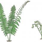 Polystichum acrostichoides