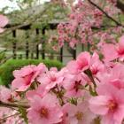 Spring blooms in the Japanese Garden.