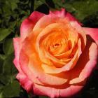 Rosa 'Heart O'Gold'.