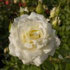 Rosa 'Moondance'