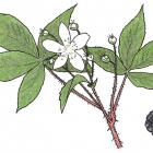 Rubus alleghaniensis