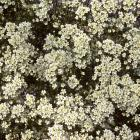 Saxifraga paniculata 'Californica'