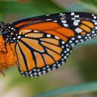 Papillon se nourrissant de nectar