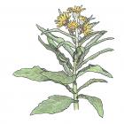 Senecio pseudoarnica