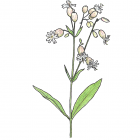 Silene vulgaris (anc.: S. cucubalus)