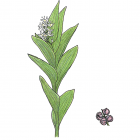 Smilacina stellata var. crassa