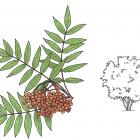 Sorbus americana