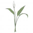 Spathiphyllum friedrichsthalii Schott