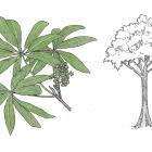 Sterculia mexicana
