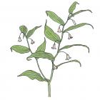 Streptopus lanceolatus (anc. Streptopus roseus)