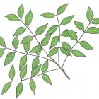 Swietenia mahagoni (L.) Jacq.