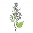 Symphyotrichum cordifolium ( syn. Aster cordifolius)