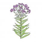 Symphyotrichum novae-angliae (syn. Aster novae-angliae)