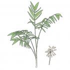 Synechanthus warscewiczianus H. Wendl.