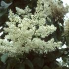 Syringa reticulata 'Ivory Silk'.