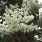 Syringa reticulata ssp. reticulata 'Yvory Silk'