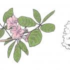 Tabebuia rosea (Bertol.) DC.
