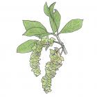 Terminalia amazonia (syn. T. obovata)