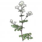Thalictrum pubescens (syn. Thalictrum polygamum)