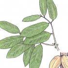 Theobroma cacao (Linnaeus)