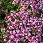 Thymus serpyllum 'Coccineus'