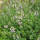 Thymus serpyllum 'Albus'