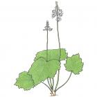 Tiarella cordofolia