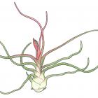 Tillandsia bulbosa Hook.