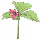 Trillium erectum