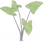 Xanthosoma violaceum Schott
