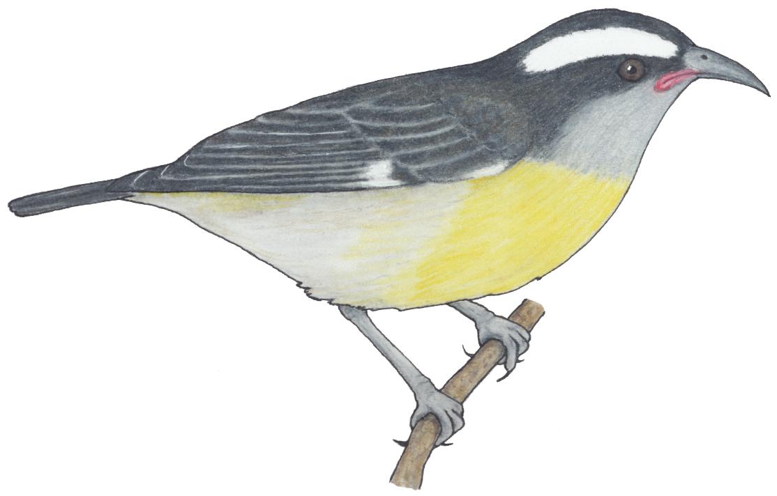 Sucrier ventre jaune espace pour la vie for Oiseau ventre jaune