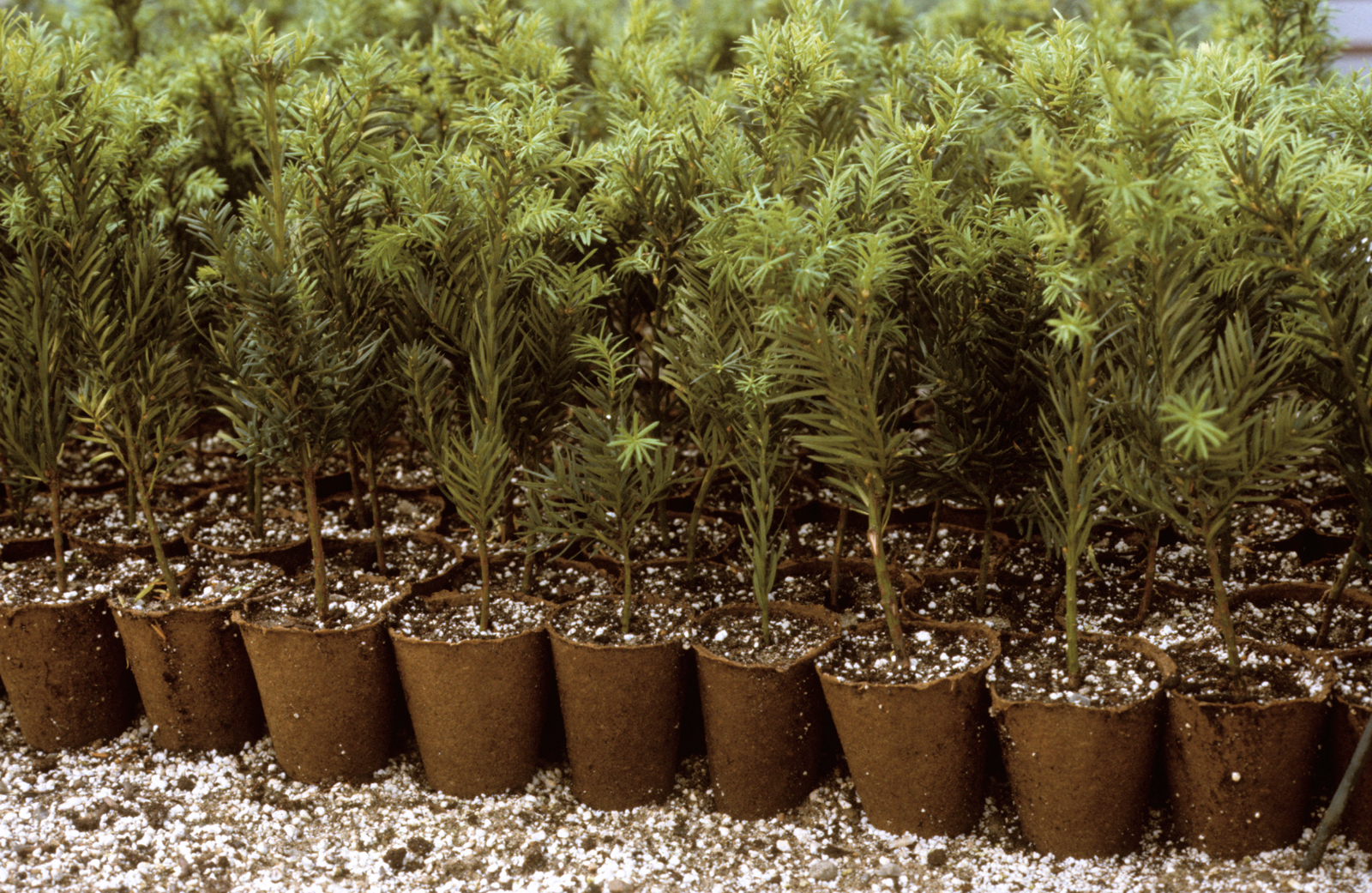 Japanese Yew Capitata Space For Life