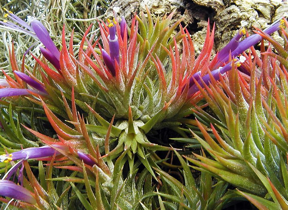"""Résultat de recherche d'images pour """"Forêts tropicales : Tillandsia , famille des Bromeliaceae ?"""""""