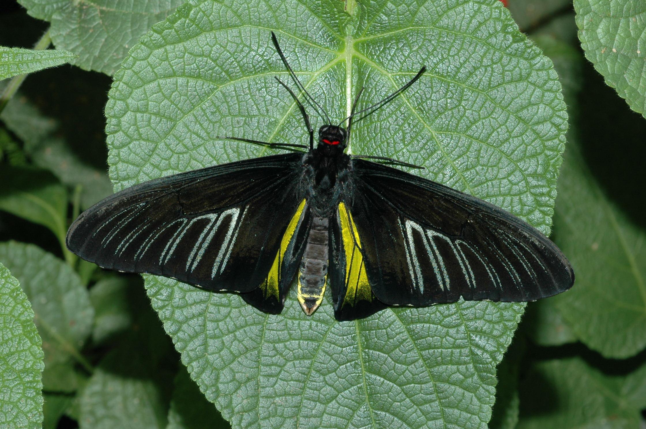 Troides rhadamantus space for life for Biodome insectarium jardin botanique